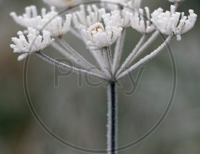 Dead Cow Parsley Covered In Hoar Frost On A Winters Day
