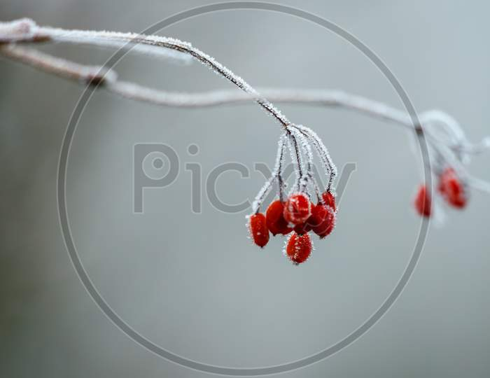 Wild Red Berries Covered With Hoar Frost On A Cold Winters Day