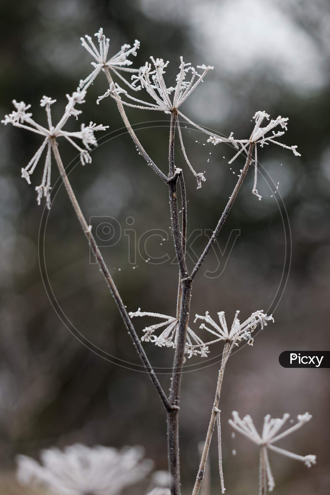 Dead Weed Covered With Hoar Frost On A Cold Winters Day In East Grinstead