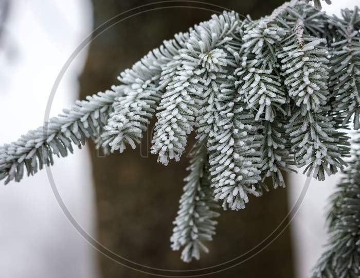 Fir Tree Covered With Hoar Frost On A Cold Winters Day
