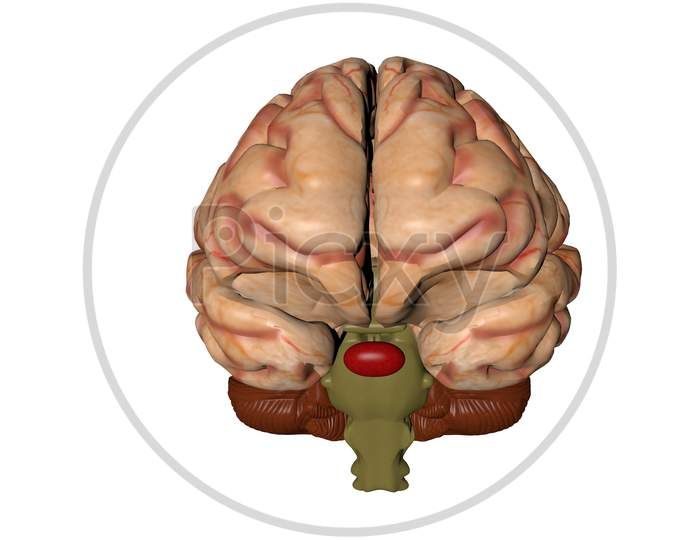 Anatomical 3D Model Of Human Brain For Medical Students.