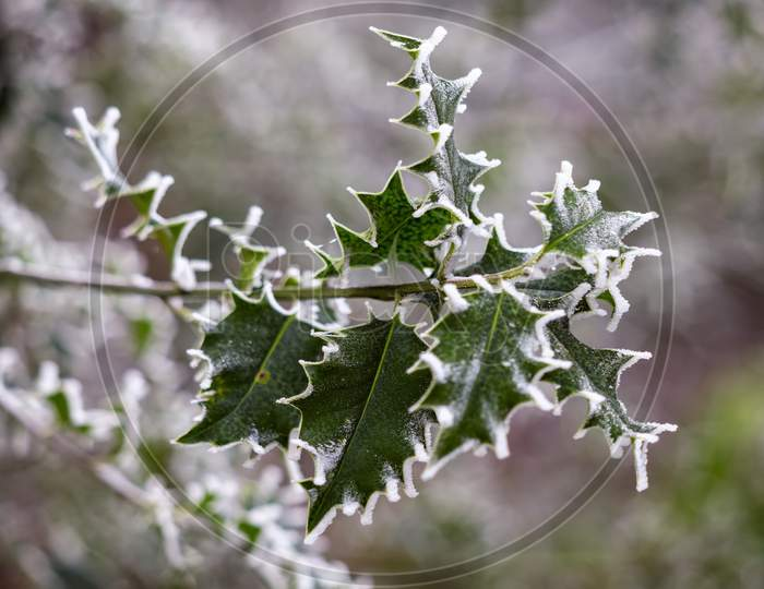 Holly (Ilex) Leaves Covered With Hoar Frost In Winter