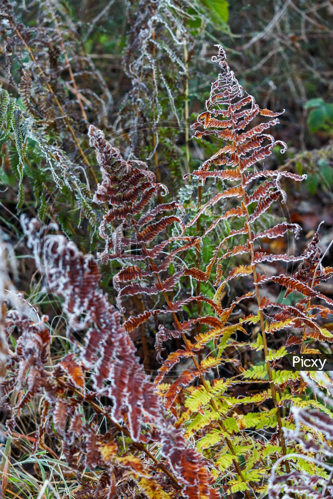 Colourful Decaying Fern Covered With Hoar Frost On A Winters Day