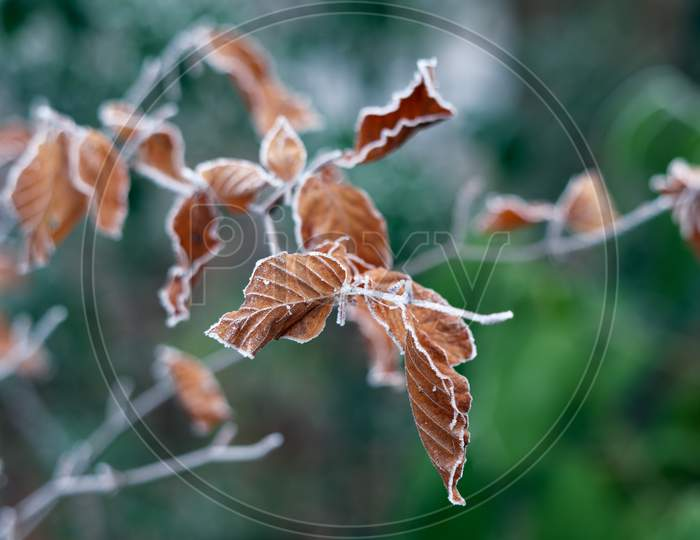 Frozen Leaves Of A Beech Tree Covered With Frost