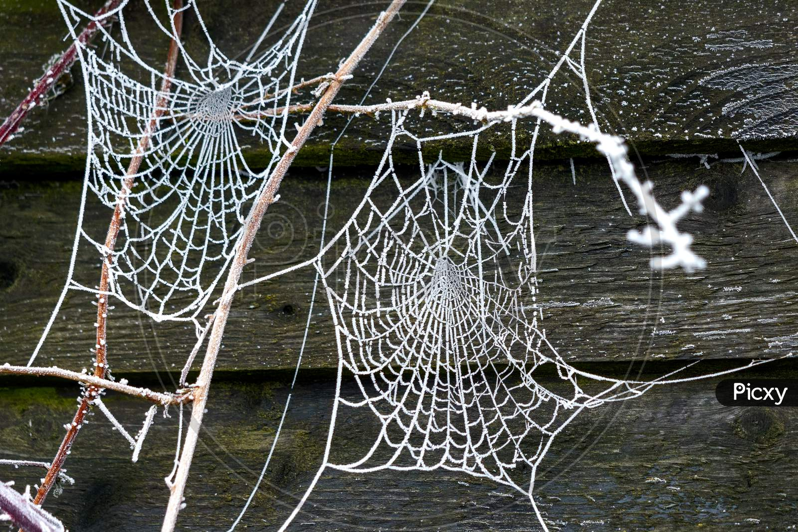 Spiders Web Glistening With Hoar Frost On A Winters Morning
