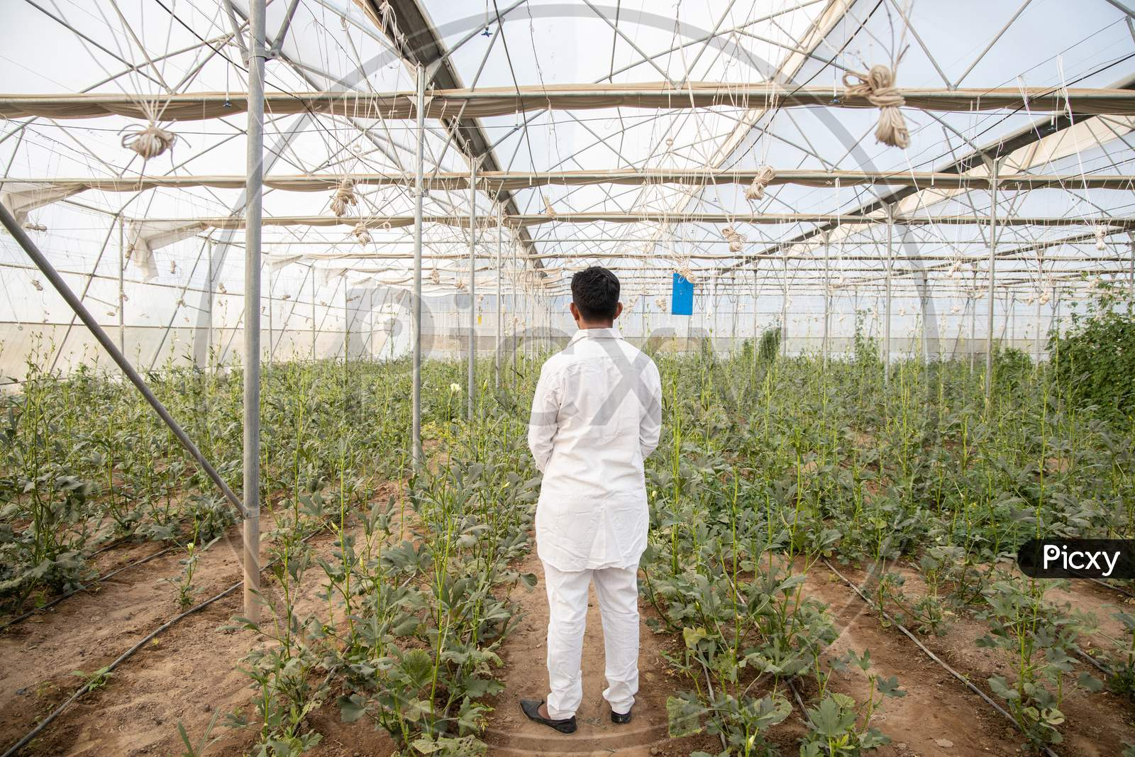 Back View Of Indian Farmer Standing At His Poly House Or Greenhouse, Agriculture Business And Rural Prosperity Concept. Man Wearing White Cloths, Copy Space