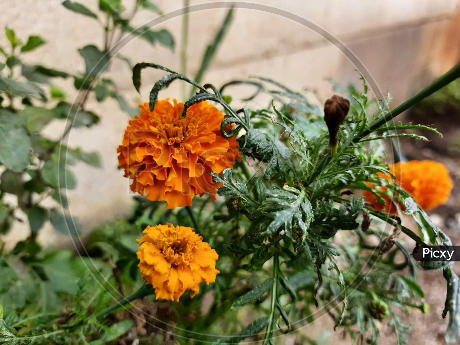 Beautiful Orange Color Marigold flower, Tagetes erecta, Mexican, Aztec or African marigold in the garden