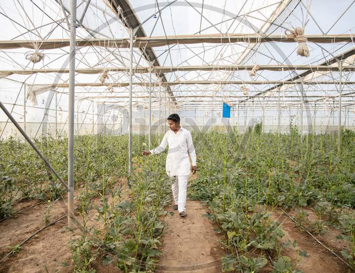 Indian Farmer Walking Inspecting Crop At His Poly House Or Greenhouse, Agriculture Field, Copy Space, Wide Angle.