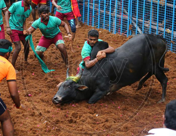 Participants try to tame a bull during Avaniyapuram Jallikattu as the part of Pongal festival celebration, in Madurai, Thursday, Jan. 14, 2021.