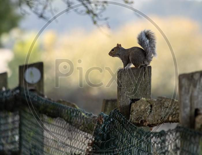 Grey Squirrel (Sciurus Carolinensis) Resting On A Fence Post