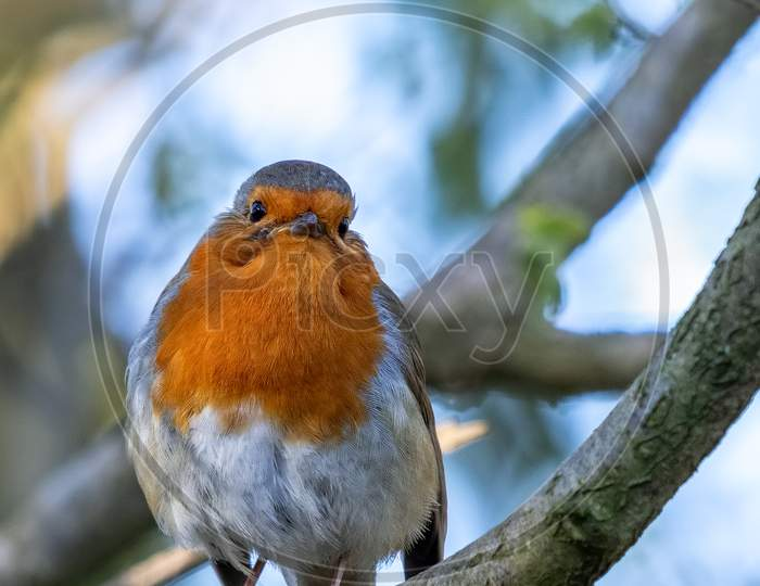 Robin Looking Alert In A Tree On A Spring Day