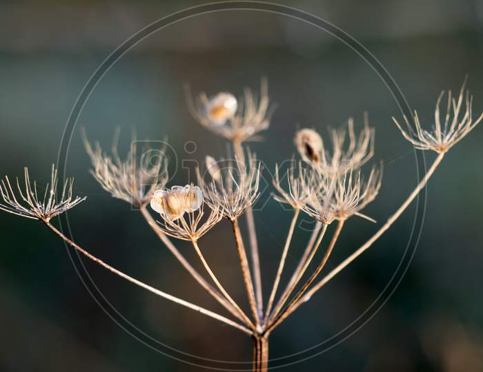 Dead Cow Parsley Illuminated By Early Morning Winter Sunshine