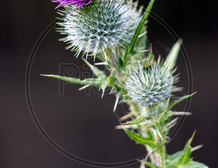 Thistle Flowering On A Summer'S Day In Sussex