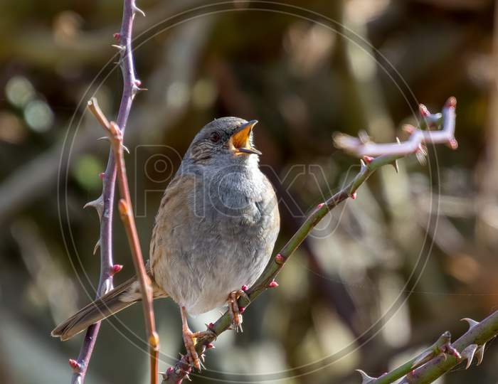 Hedge Accentor (Dunnock) In A Hedge In Sussex