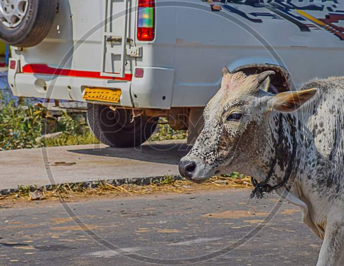 Picture Of A White Color Indian Calf Walking On Road In Bright Sunlight.