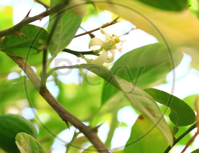 Flower of lemon