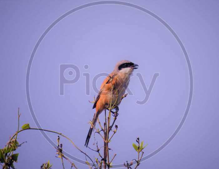 Long tailed shrike Bird
