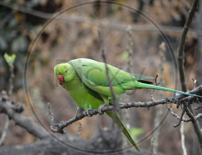 Rose-ringed Parakeet in JNU