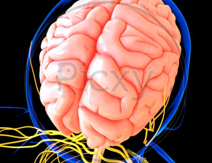 Human Brain Anatomy For Medical Concept 3D Rendering
