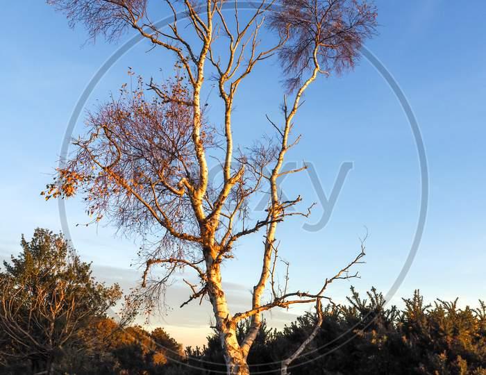 Sunlit Silver Birch Tree In The Ashdown Forest