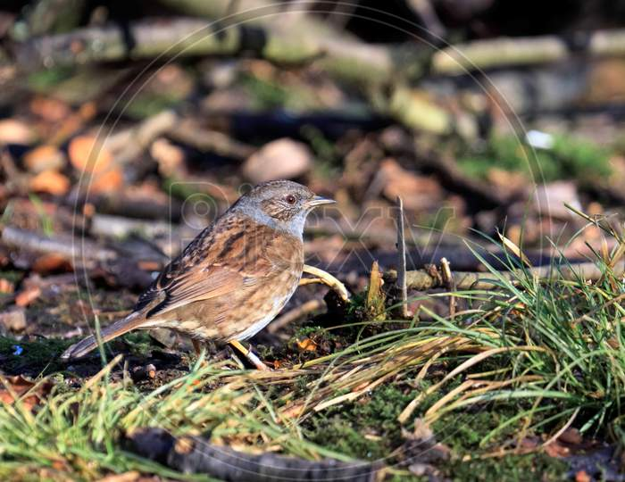 Hedge Accentor On The Canopy Floor