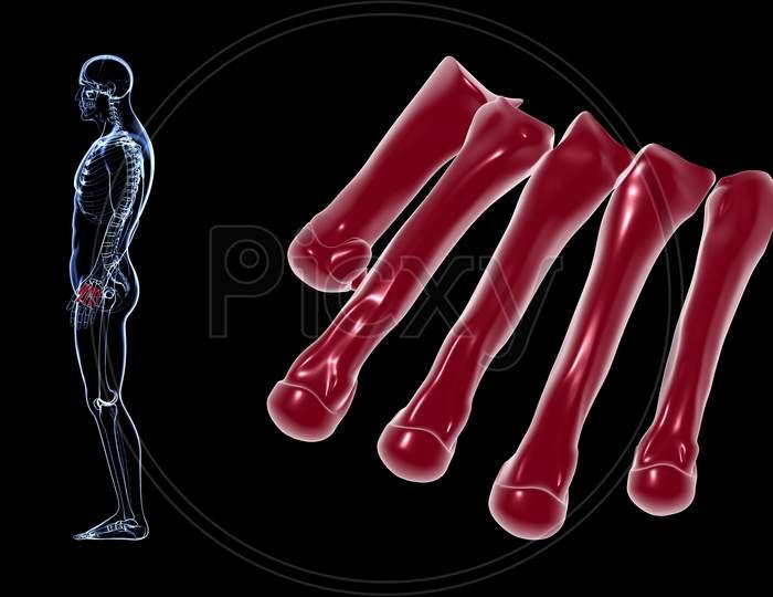 Human Skeleton Hand Matacarapls Bone Anatomy For Medical Concept