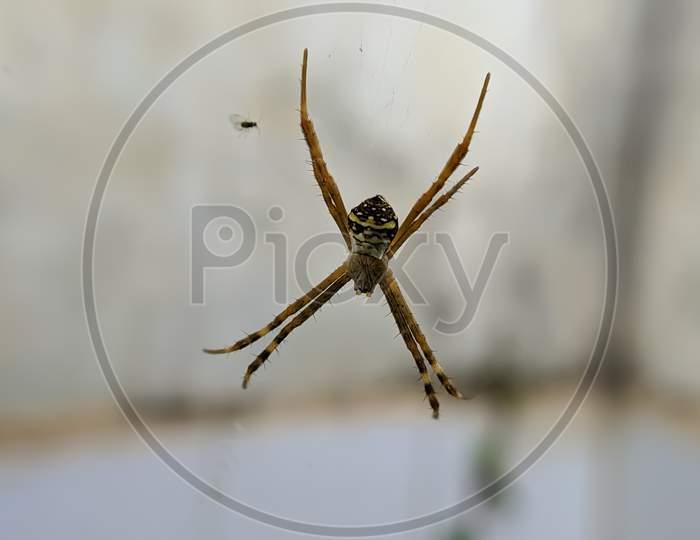 Argiope keyserlingi spider on garden yellow spider