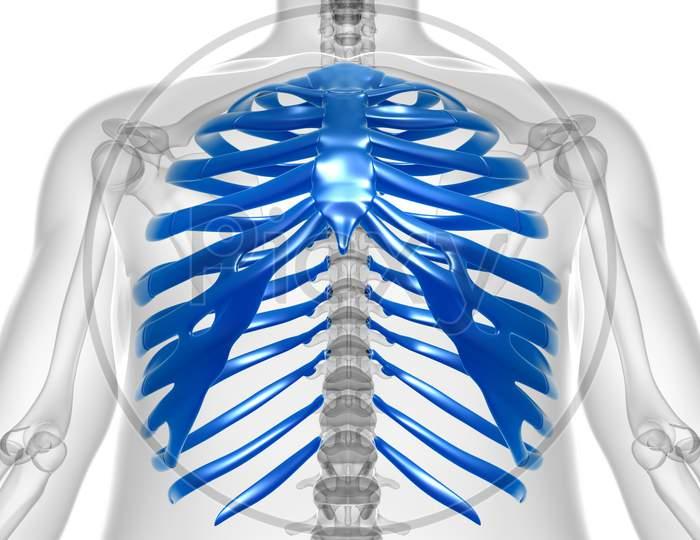 Human Skeleton Anatomy Rib Cage 3D Rendering