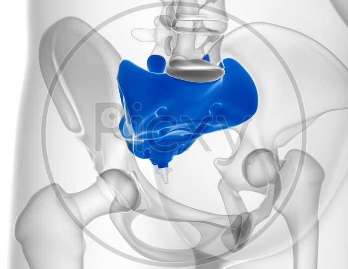Human Skeleton Anatomy Sacral Bone 3D Rendering