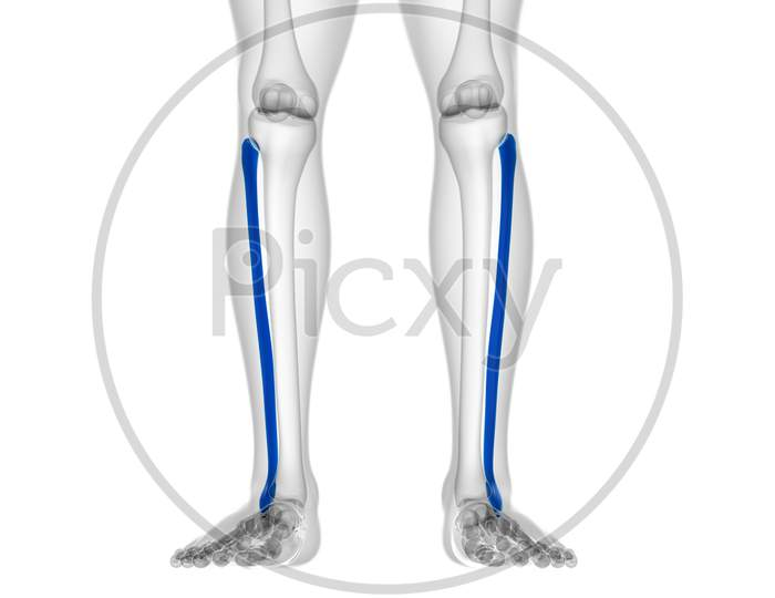 Human Skeleton Anatomy Fibula Bone 3D Rendering