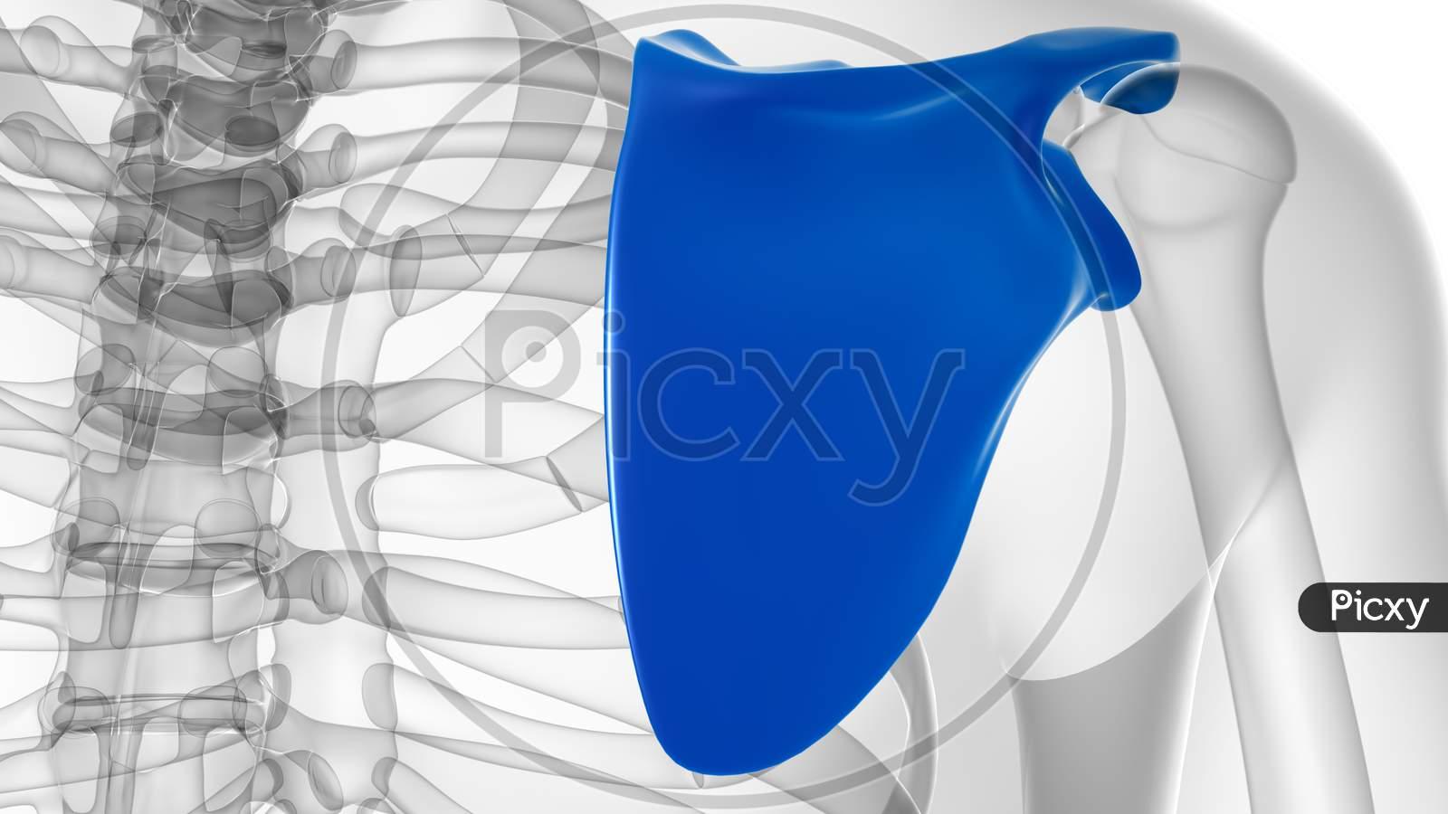 Human Skeleton Anatomy Scapula Bone 3D Rendering