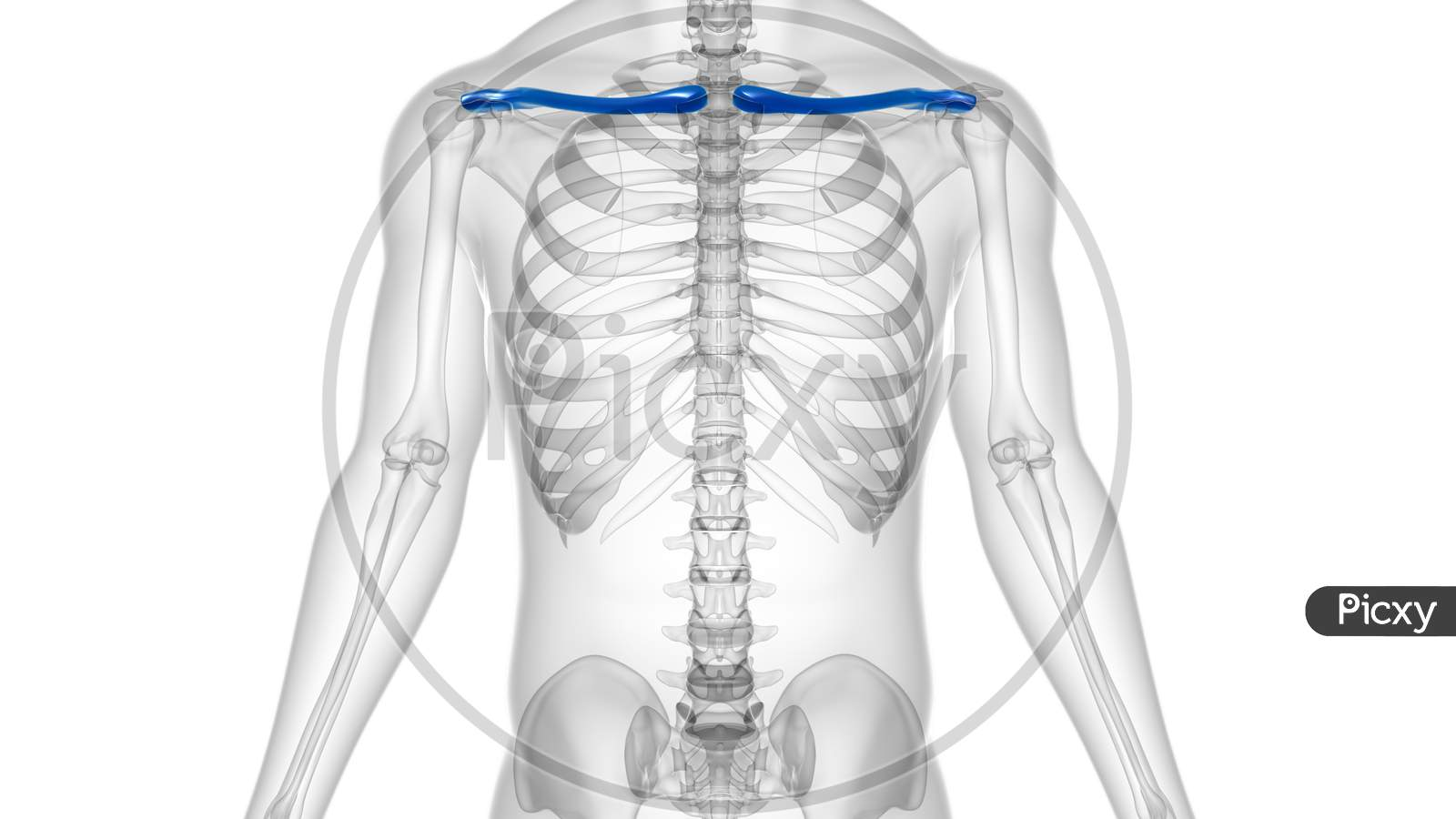 Human Skeleton Anatomy Clavicle Bones 3D Rendering