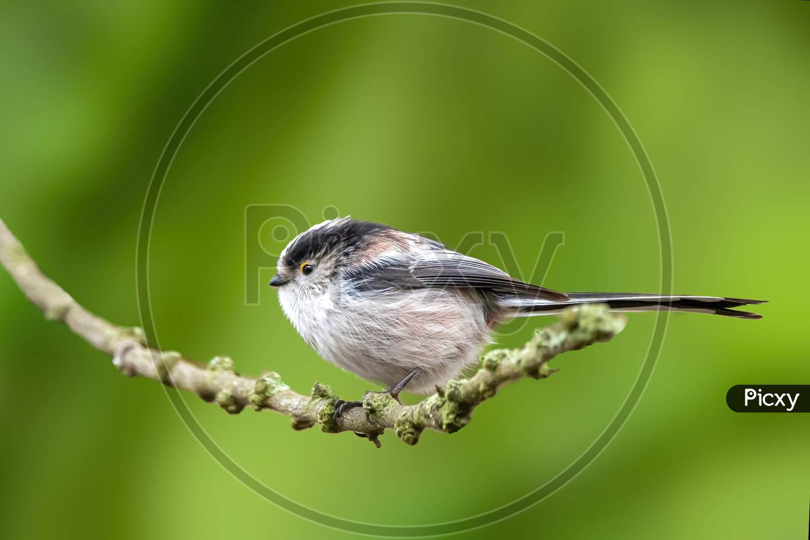 A long-tailed tit sitting on a branch of a tree at the Mönchbruch pond in a natural reserve in Hesse Germany. Beautiful blurred green background.