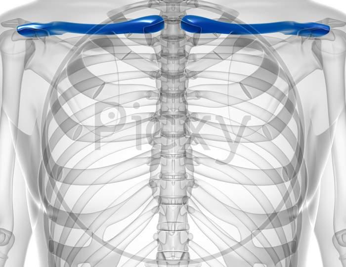 Human Skeleton Anatomy Clavicle Bones 3D Rendering