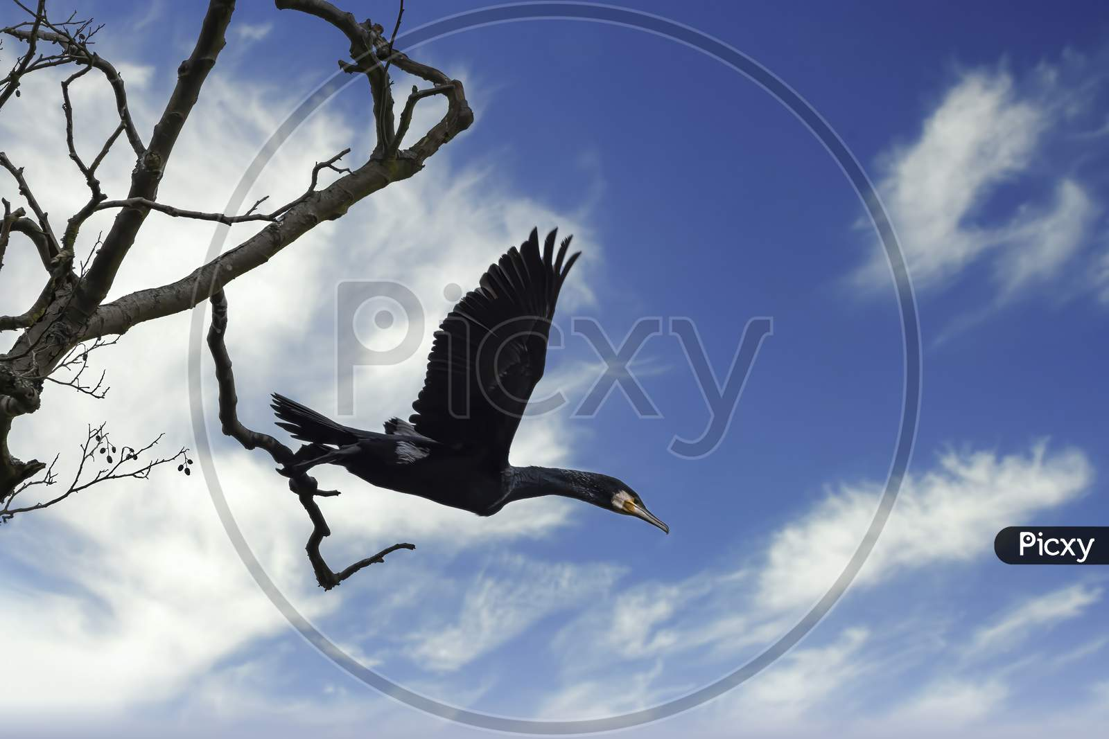 A great black cormorant sitting on a tree at the Mönchbruch natural reserve next to Frankfurt, Germany at a sunny day in winter. Starting to fly away.