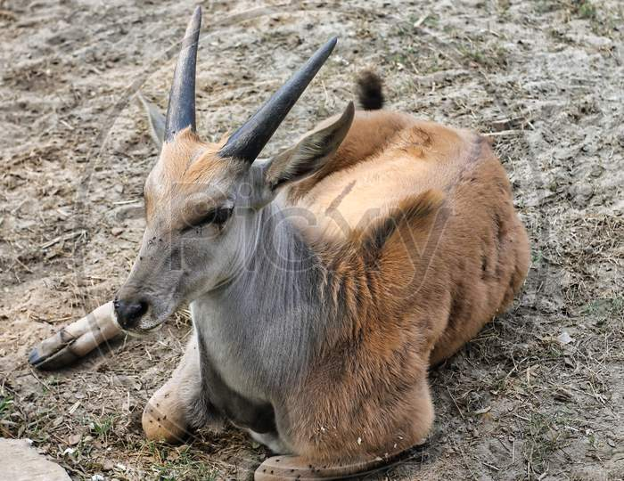 Common Eland (Taurotragus Oryx) Is Sitting On The Ground