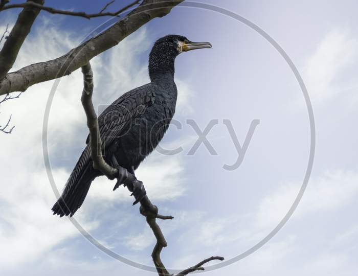 A great black cormorant sitting on a tree at the Mönchbruch natural reserve next to Frankfurt, Germany at a sunny day in winter.