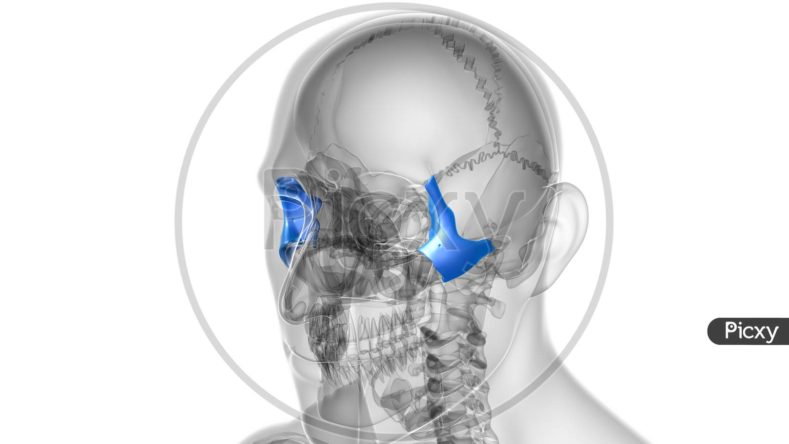 Human Skeleton Skull Zygomatic Bone Anatomy For Medical Concept