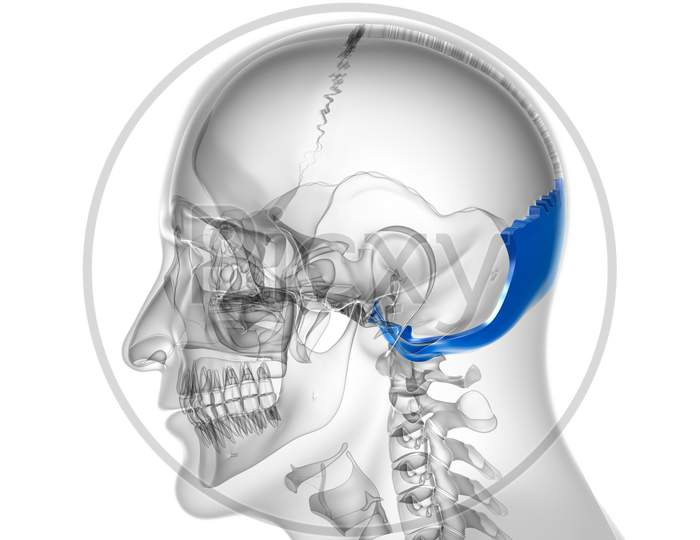 Human Skeleton Skull Occipital Bone Anatomy For Medical Concept