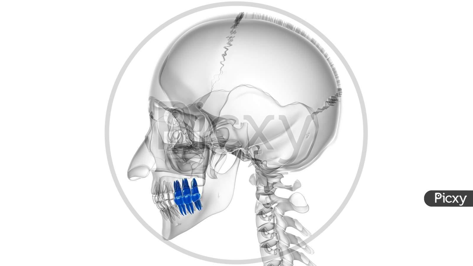 Human Teeth Molars Anatomy 3D Illustration