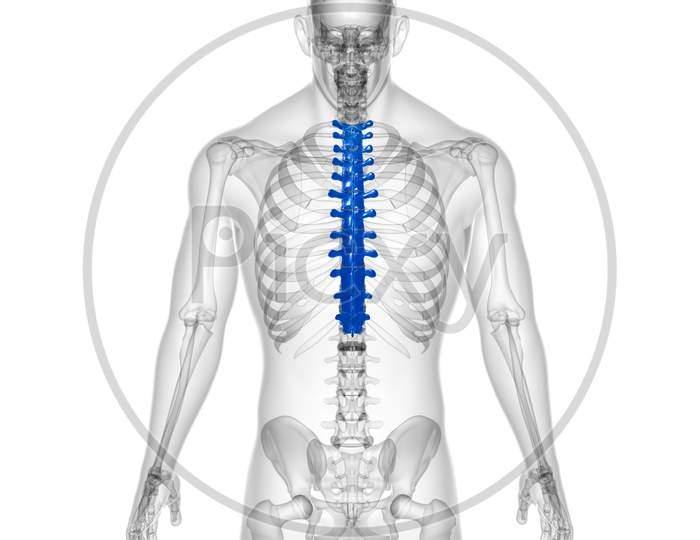 Human Skeleton Vertebral Column Thoracic Vertebrae Anatomy