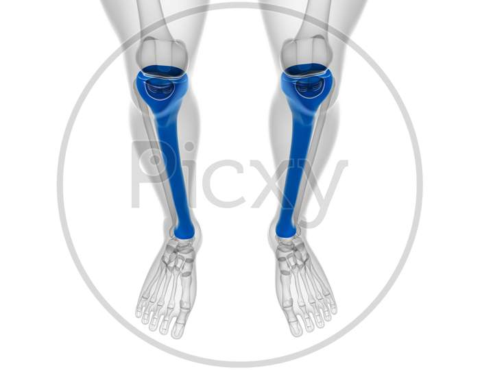 Human Skeleton Anatomy Tibia Bone 3D Rendering