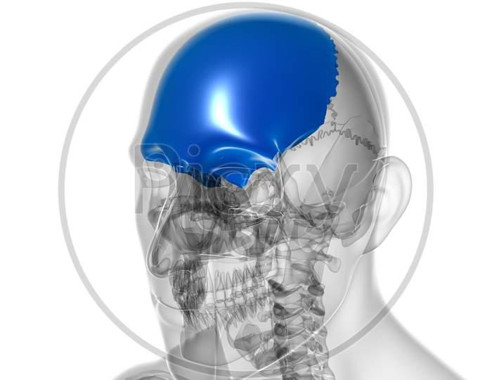 Human Skeleton Skull Frontal Bone Anatomy For Medical Concept