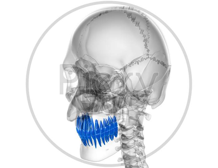 Human Teeth Anatomy 3D Illustration