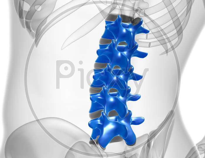Human Skeleton Vertebral Column Lumbar Vertebrae Anatomy