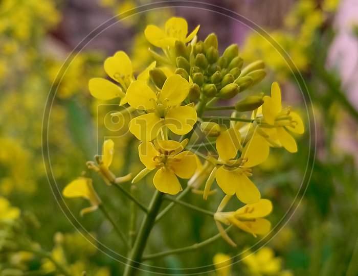 yellow flower of mustard