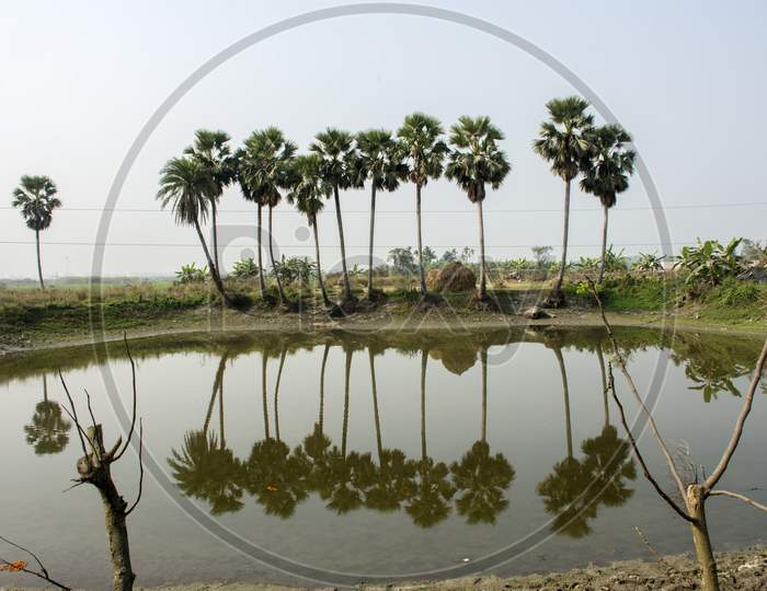 Beautiful Landscape Of Palm Tree Just Beside A Pond With Reflection On It.