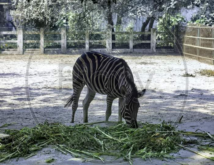 A Zebra Eats Grass Alone At The Zoo On A Sunny Day