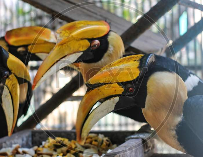 The Great Hornbills Are Eating Together