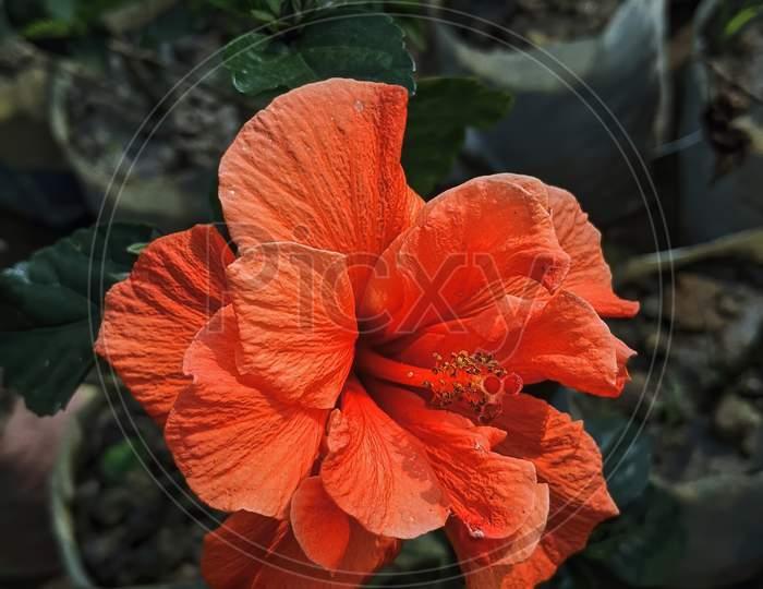 Beautiful Red Hibiscus Flower Blooming In The Garden